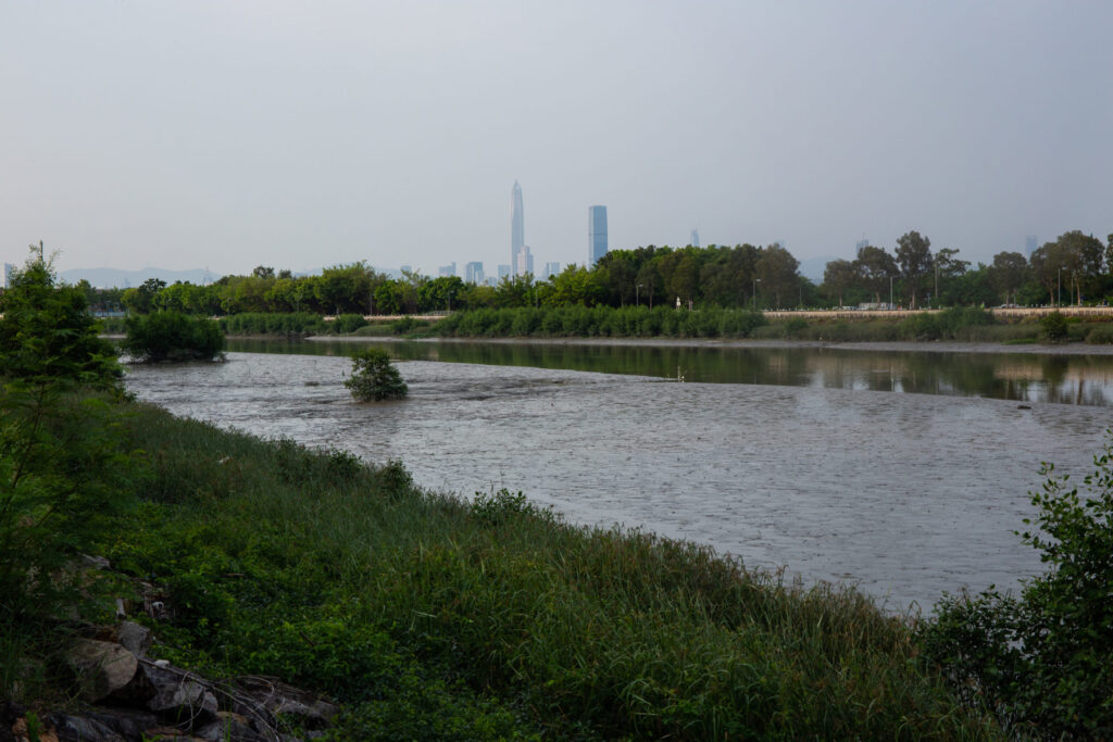 A single mangrove colonises the muddy edges of Hong Kong's Kam Tin River. A new channel for the river was constructed along Nam Sang Wai in 1997. To compensate for the disruption this caused to the area's wetlands, and to strengthen the riverbanks, species of mangrove were planted along the channel. (Image: Katherine Cheng / China Dialogue)