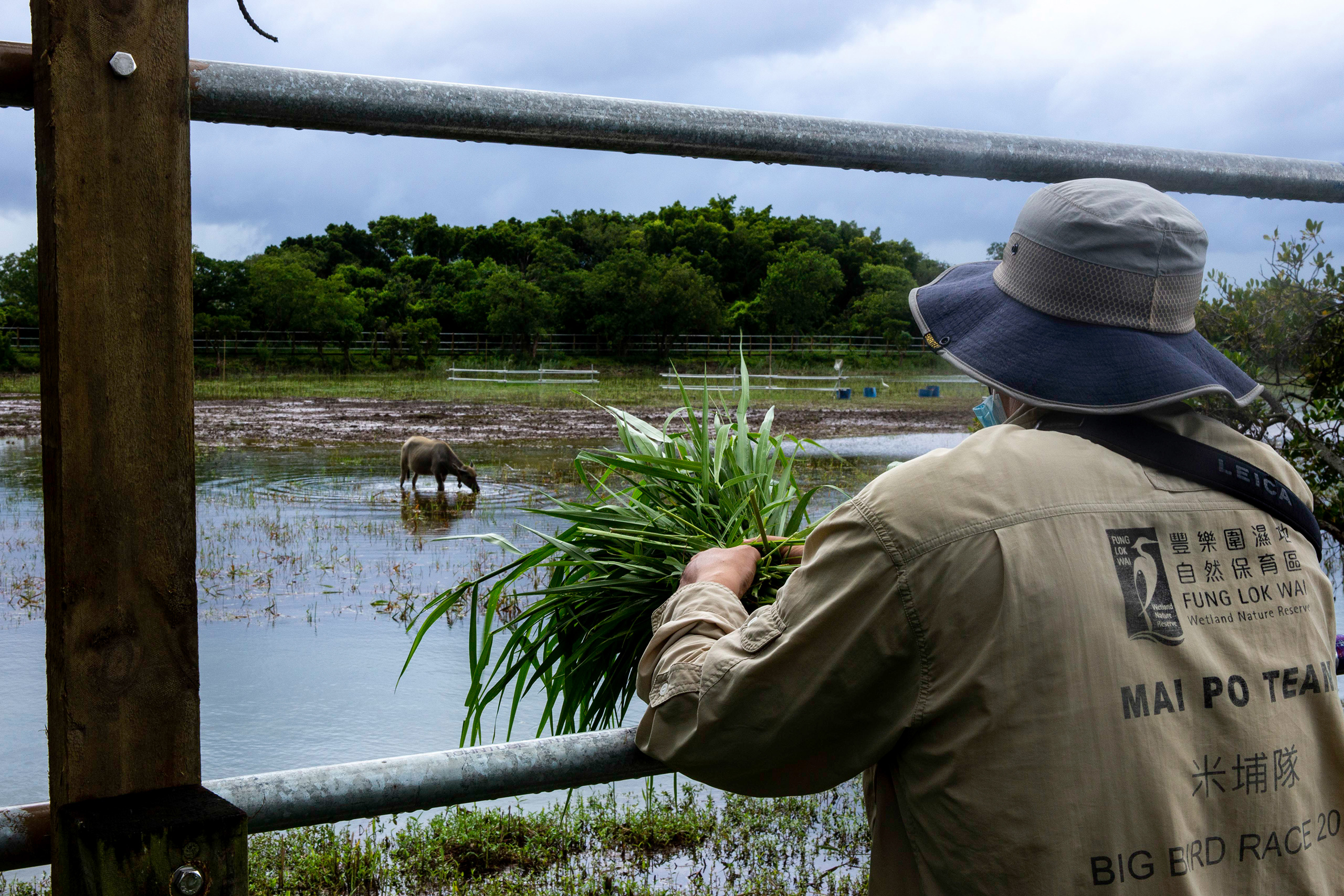 "Dr Xianji Wen, director of the Mai Po Nature Reserve and Regional Wetlands, waits with a handful of grass to feed ""Ah Bo"", a water buffalo being kept on the reserve. Larger animals have an important role to play in maintaining ecosystem health. Ah Bo, who was named by the public through an online competition, helps keep the grass down so that other species of plant, such as mangrove, can grow. (Image: Katherine Cheng / China Dialogue)"