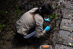 A researcher from the Chinese University of Hong Kong collects samples of mangroves and mud in the Mai Po reserve. She is studying the diet of mangrove crabs, an important part of the mangrove ecosystem. The scientific research supported by the reserve plays a key role in efforts to conserve mangroves, both in Hong Kong and on the Chinese mainland. (Image: Katherine Cheng / China Dialogue)