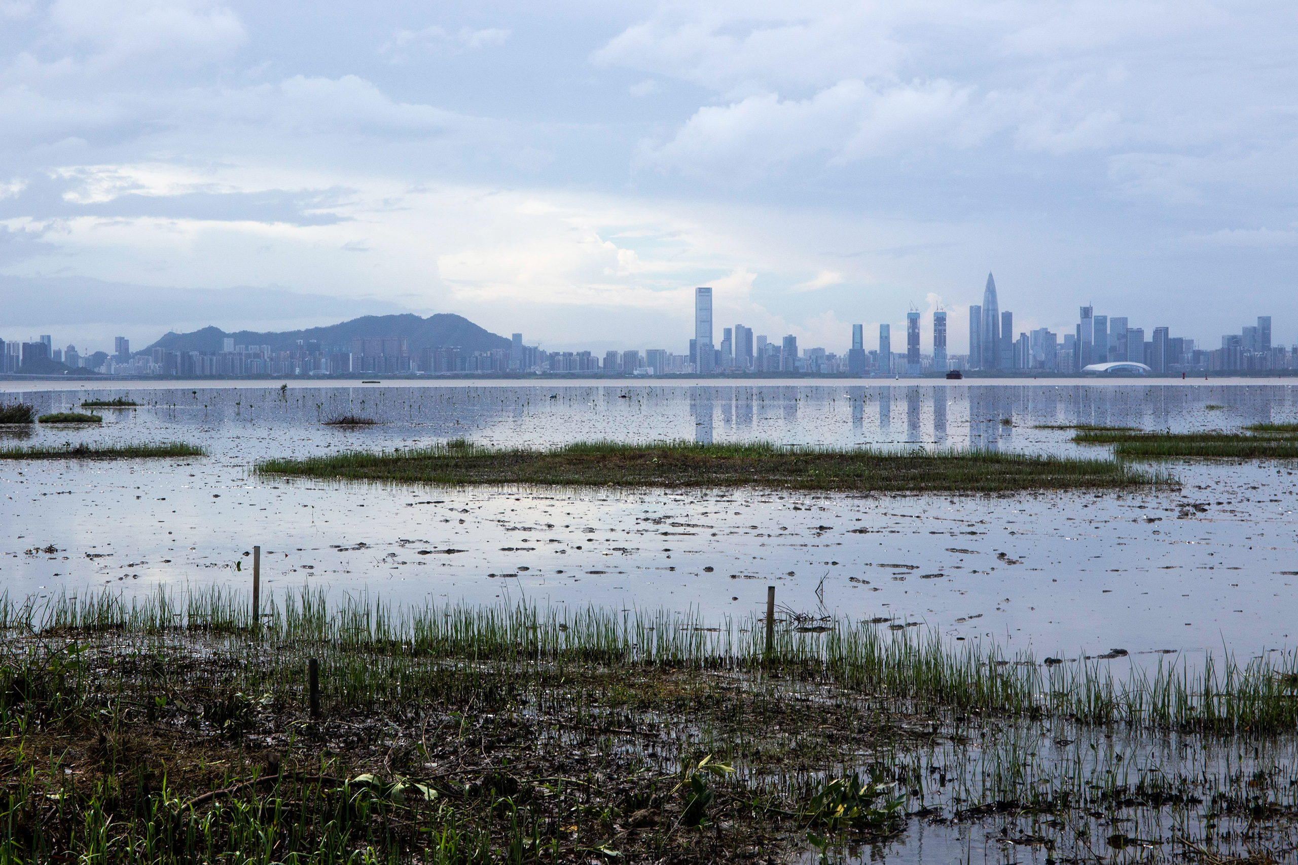 Across the Mai Po mudflats, the high-rise buildings of Shenzhen are a hard-to-miss reminder of urban spread along this coastline. A less visible threat to the Mai Po mangroves are invasive species. The fast-growing Mangrove Apple (Sonneratia caseolaris) is a non-local species that was originally planted in the Futian Nature Reserve on the Shenzhen side of Deep Bay as a quick way to restore the mangrove forests there. The species has since invaded the Mai Po reserve, where regular clearance efforts are needed to prevent it overtaking native mangroves. To address the issue, Futian and Mai Po have also formed a collaboration, holding regular workshops and exchanging data. (Image: Katherine Cheng / China Dialogue)