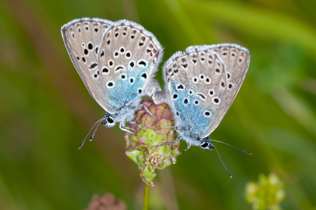 Large blue butterflies (Maculinea arion) mating on wild thyme (Image: Alamy)