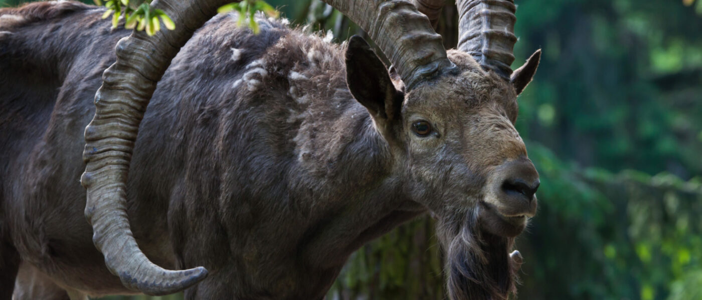 The Siberian ibex has had its protections lowered from Class I to Class II (Image: Giovanni Grotto / Alamy)