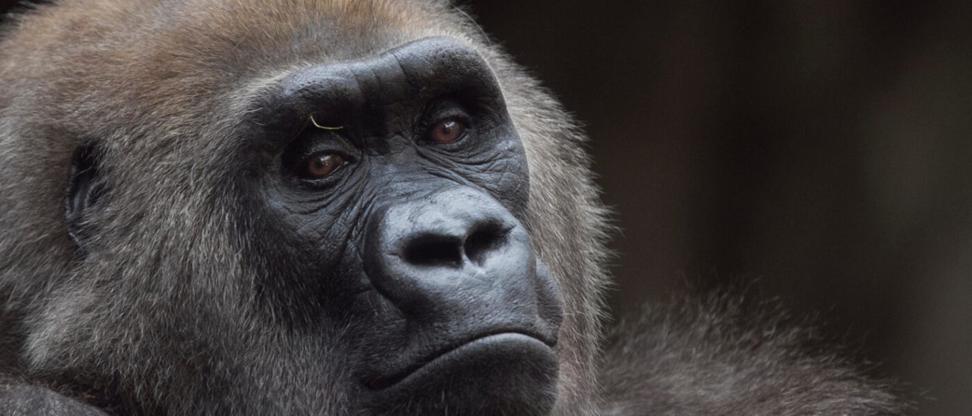 The eastern lowland gorilla, whose numbers in one national park in the Democratic Republic of Congo fell by 87% in 20 years due to illegal hunting (Image: Özkan Özmen / Alamy)