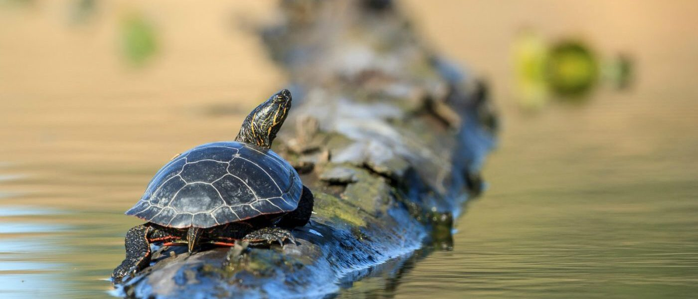 Nearly a fifth of all reptiles are threatened by extinction, say the IUCN (Image: Alamy)