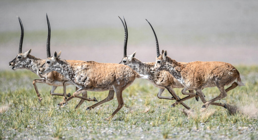 Tibetan antelopes at Changtang National Nature Reserve in the Tibet Autonomous Region (Image: Xinhua / Alamy)